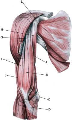 betændelse i bicepssenen
